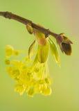 Acer-pseudoplatanus Stockbilder