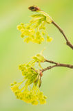 Acer pseudoplatanus Royalty Free Stock Photo