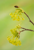 Acer pseudoplatanus Stock Photo