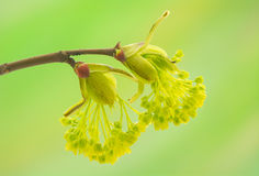 Acer pseudoplatanus Stock Image