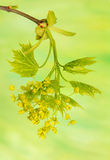 Acer pseudoplatanus Royalty Free Stock Image