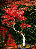 Acer purpureum bonsai tree. Japanese red maple Royalty Free Stock Images