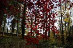 Acer and red leaves. Vrchotovy Janovice, Czech Republic stock photo