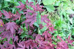 Acer roślina Obrazy Royalty Free