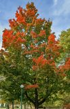 Acer rubrum in autumn Stock Images