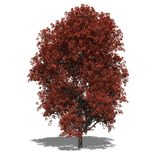 Acer rubrum (autumn) Stock Image