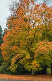 Acer rubrum in autumn stock image