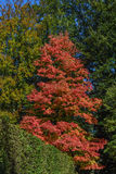 Acer rubrum in autumn Stock Photography