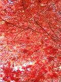 Acer-Rubrum Boom in de Zon in de herfst Stock Fotografie