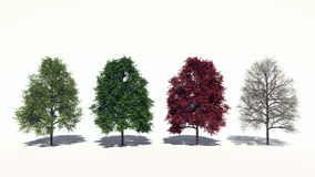 Acer rubrum (Four Seasons) Stock Images
