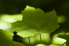 Acer rubrum. Green leaf maple Acer rubrum on blurred background Royalty Free Stock Images