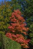 Acer-Rubrum im Herbst Stockfotografie