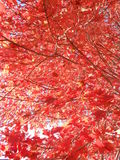 Acer Rubrum Tree in the Sun in the Fall. Stock Photography