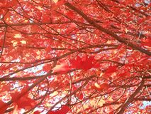 Acer Rubrum Tree in the Sun in the Fall. Royalty Free Stock Images