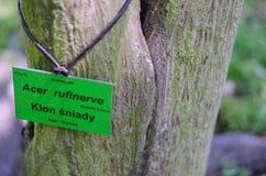 Acer-rufinerve Stamm botanischer Garten in Polen Stockfotografie
