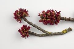 Acer saccharinum Royaltyfri Bild