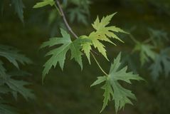 Acer saccharinum foliage. Green leaves of Acer saccharinum in spring stock image
