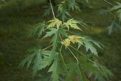 Acer saccharinum foliage. Green leaves of Acer saccharinum in spring royalty free stock photo