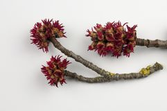 Acer saccharinum. Some branches with flowers of the marsh maple royalty free stock image