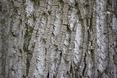 Acer saccharinum truck. Bark close up of Acer saccharinum tree royalty free stock image