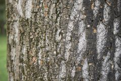 Acer saccharinum trunk. Bark close up of Acer saccharinum tree stock image