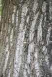 Acer saccharinum trunk. Bark close up of Acer saccharinum tree royalty free stock photo