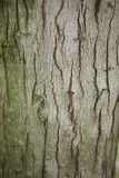 Acer saccharinum trunk. Bark close up of Acer saccharinum tree Royalty Free Stock Photos