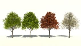 Acer saccharum (Four Seasons) Royalty Free Stock Photo