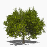 Acer saccharum (summer) Royalty Free Stock Image