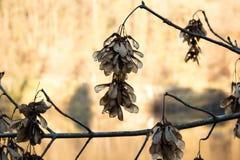 Acer Samara Seeds i vinter Arkivbild