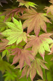 Acer shirasawanum autumn moon Royalty Free Stock Images