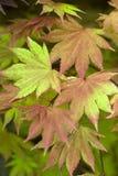 Acer shirasawanum Herbstmond Lizenzfreie Stockbilder