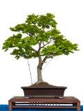 Acer sirasawanum aureum als Bonsaisbaum Lizenzfreie Stockfotografie