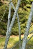 Acer-tegmentosum ` Joe Witt-` Stockbilder