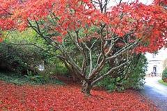 Acer träd i höst Fotografering för Bildbyråer