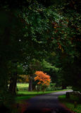 Acer tree. In Autumn and country driveway Stock Photos