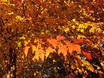 An Acer Tree with Bright Orange and Yellow Leaves in the Sun in the Fall. Royalty Free Stock Photo