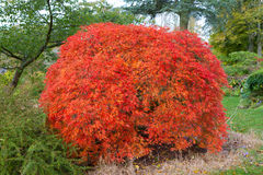 Acer tree known as Japanese Maple Stock Image
