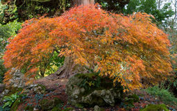 Acer tree known as Japanese Maple Stock Photography