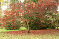 Acer Tree with Mat of Red Leaves. Acer tree surrounded by beautiful red leaves Royalty Free Stock Photo