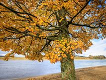 Acer tree - Acer pseudoplatanus. Sycamore maple in golden colors in autumn season. At Hamresanden, Norway Stock Image