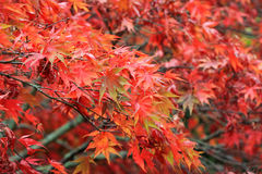 Acer Tree Stock Photography