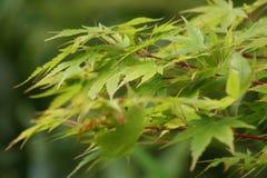 Acer verde fotografía de archivo libre de regalías