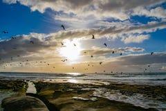 Acercamento da gaivota La Jolla, CA imagem de stock