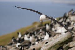 Acercamiento Black-browed del albatros Fotos de archivo