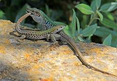 Acercamiento caliente; lagarto rural (sicula de los podarcis) Imagen de archivo libre de regalías