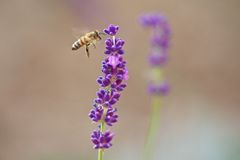 Acercamiento de la abeja Fotos de archivo