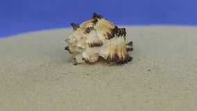 Acercamiento de la concha marina que miente en la arena Aislado metrajes