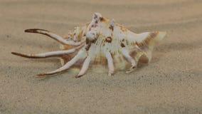Acercamiento de la concha marina que miente en las dunas de arena almacen de video