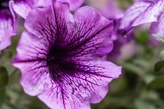 Acercamiento de una flor violeta con sus detalles foto de archivo libre de regalías